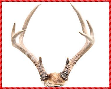 Deer Antler-015